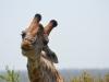 girafe bisous kruger