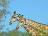 girafe copine kruger