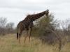 girafe seule kruger
