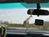 girafedepuis voiture kruger
