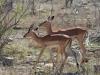 impala femelle et son fils kruger