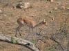 impala femelle kruger