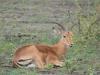 impala male assis kruger