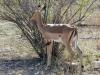 impala pic boeuf bec rouge kruger