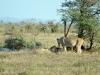lions dejeuner kruger