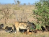 lions ombre kruger