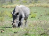 rhino broutant kruger
