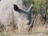 rhino de face kruger