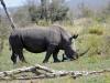 rhino et oiseaux kruger