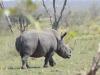 rhino kruger