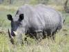 rhino nous regardant kruger
