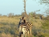 zebre fesses kruger