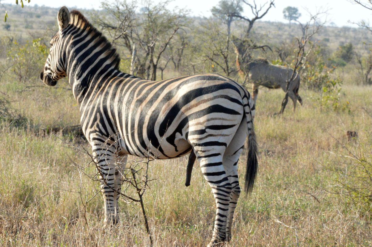 zebre en rut kruger