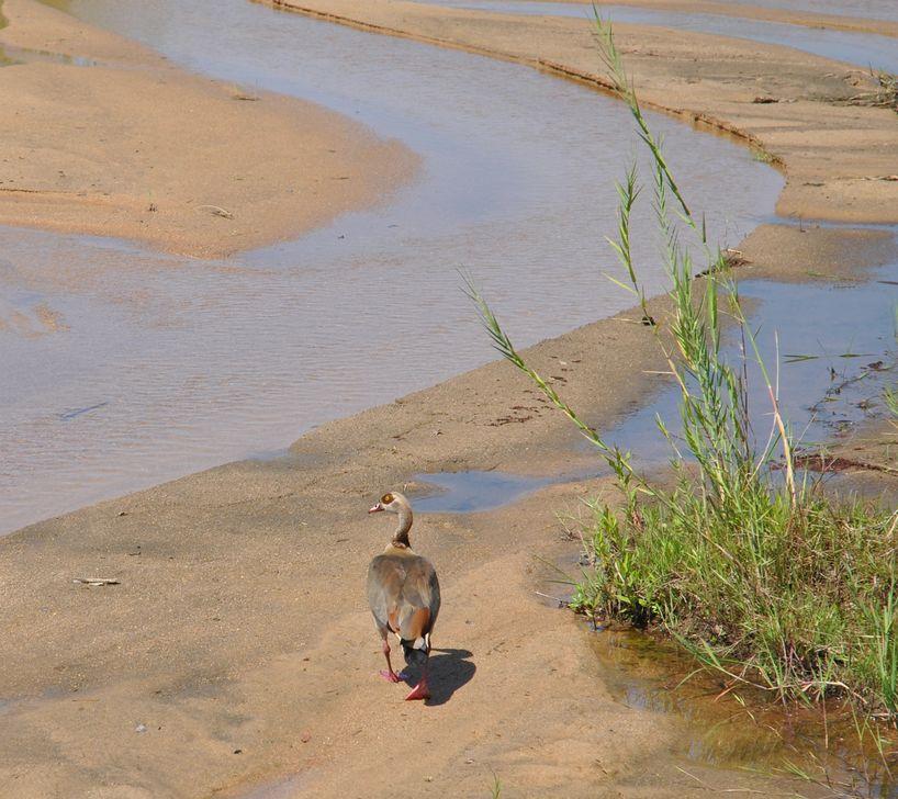 oiseau ouette egypte kruger