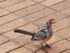 oiseau Calao leucomèle au lodge kruger