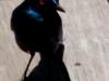 oiseau Choucador de burchel kruger