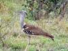 oiseau Outarde kori kurger