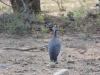 oiseau Pintade casquee kruger