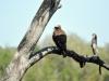 oiseau aigle jeune kruger
