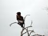 oiseau aigle kurger