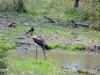 oiseau heron kruger