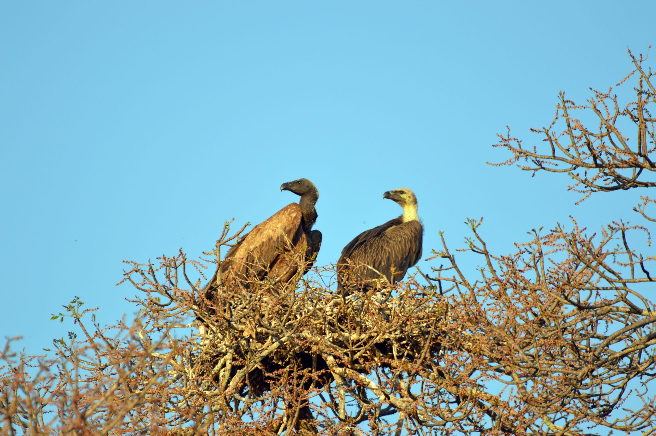 vautours couple kruger