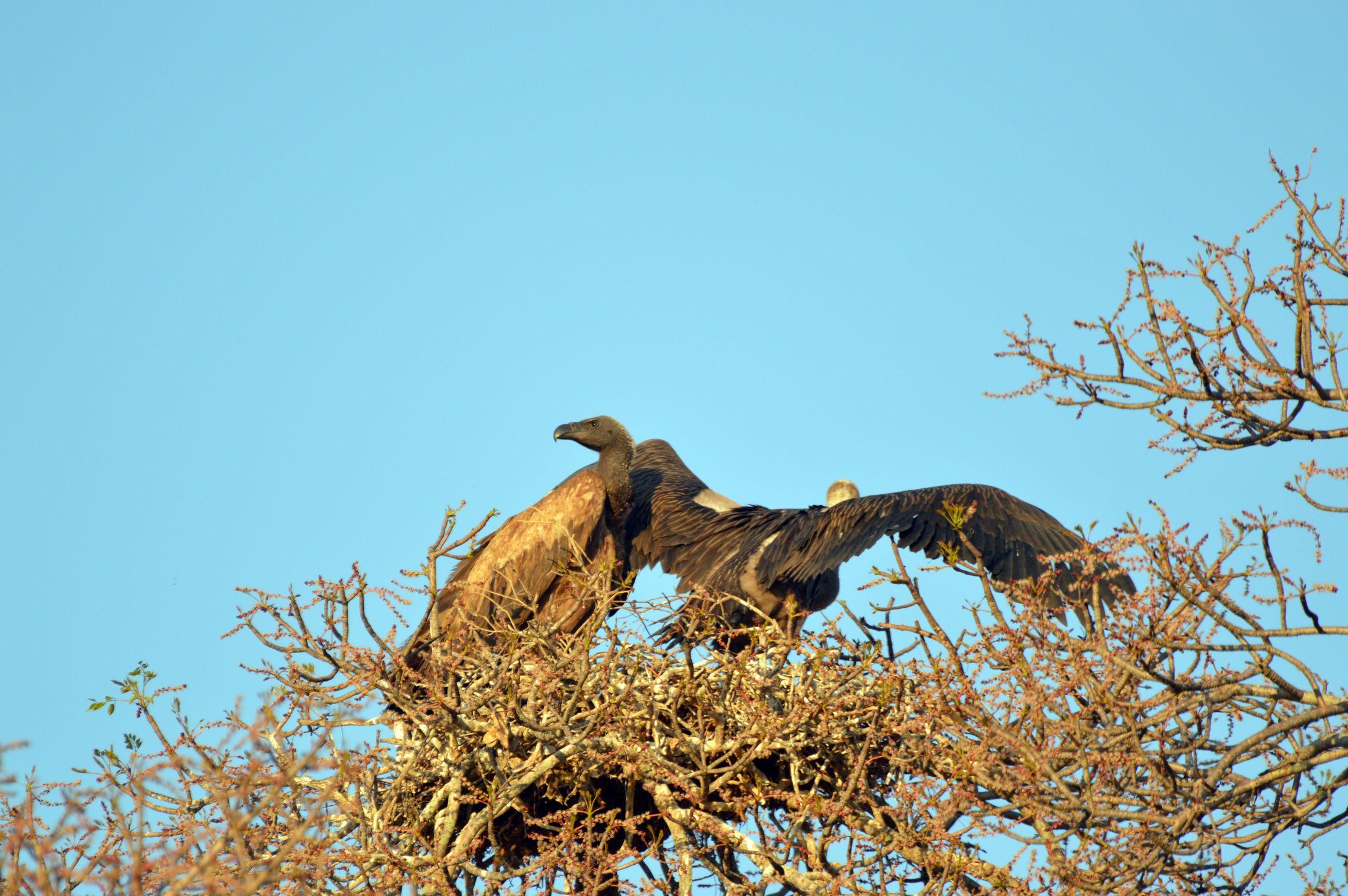 vautours kruger