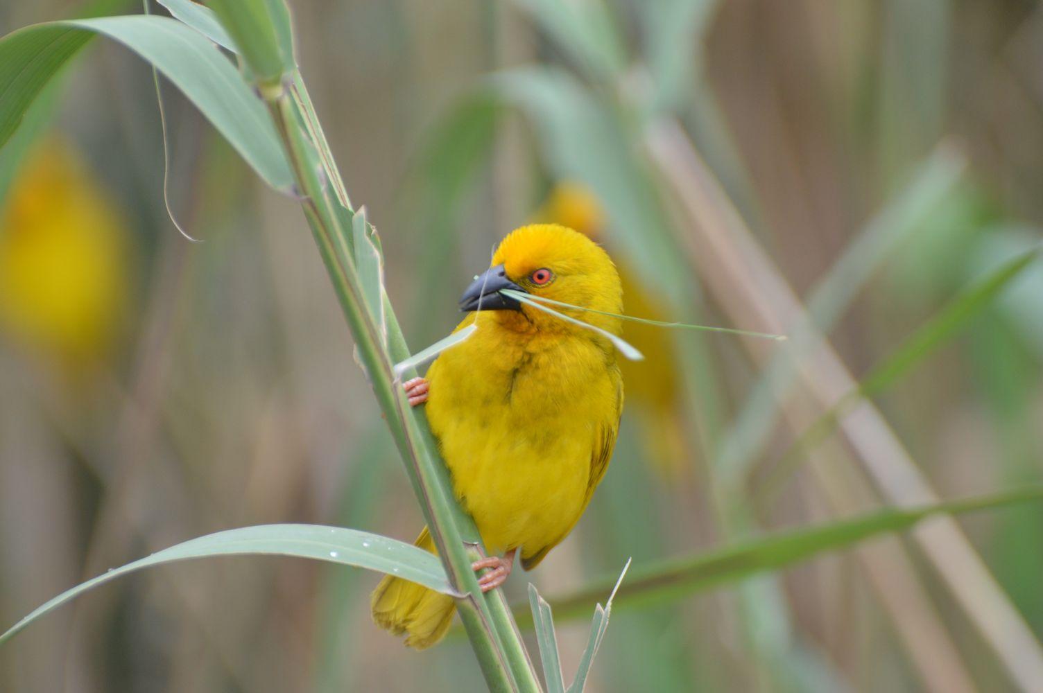 tisserin jaune (2)