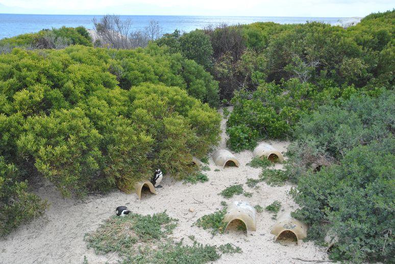 boulders beach (5)
