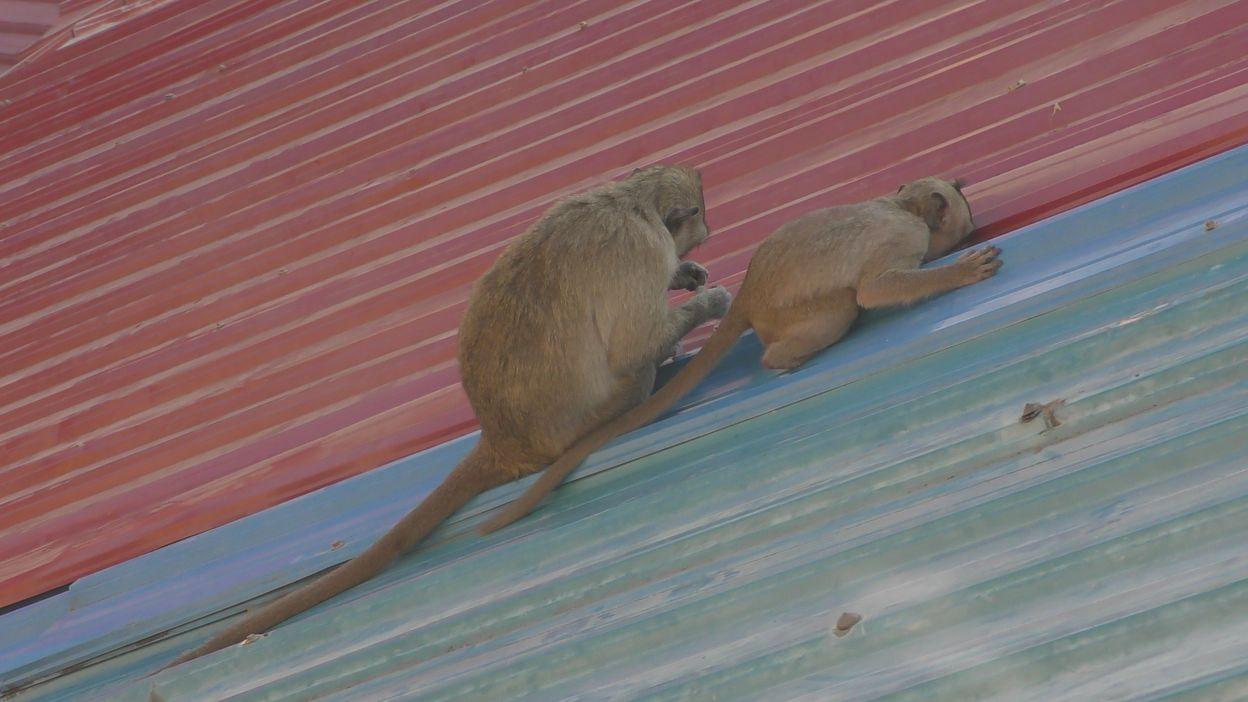 phnom penh singes toit