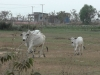 vaches 02