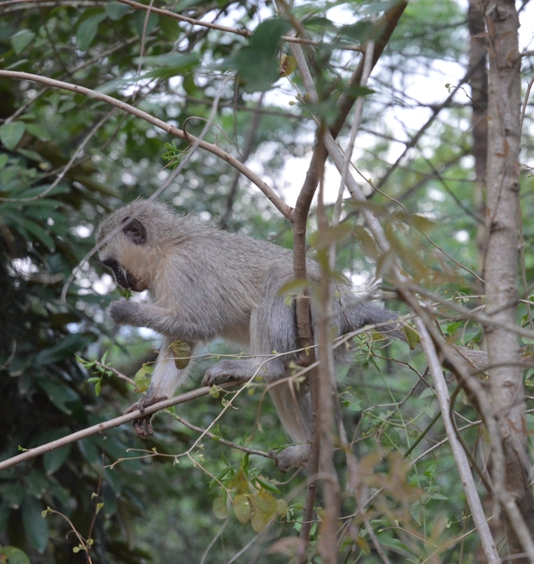 swaziland singe vervet