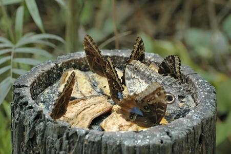 papillon (1)