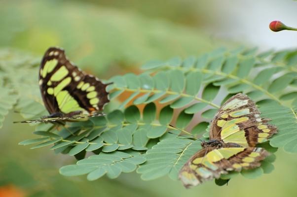 papillon (6)