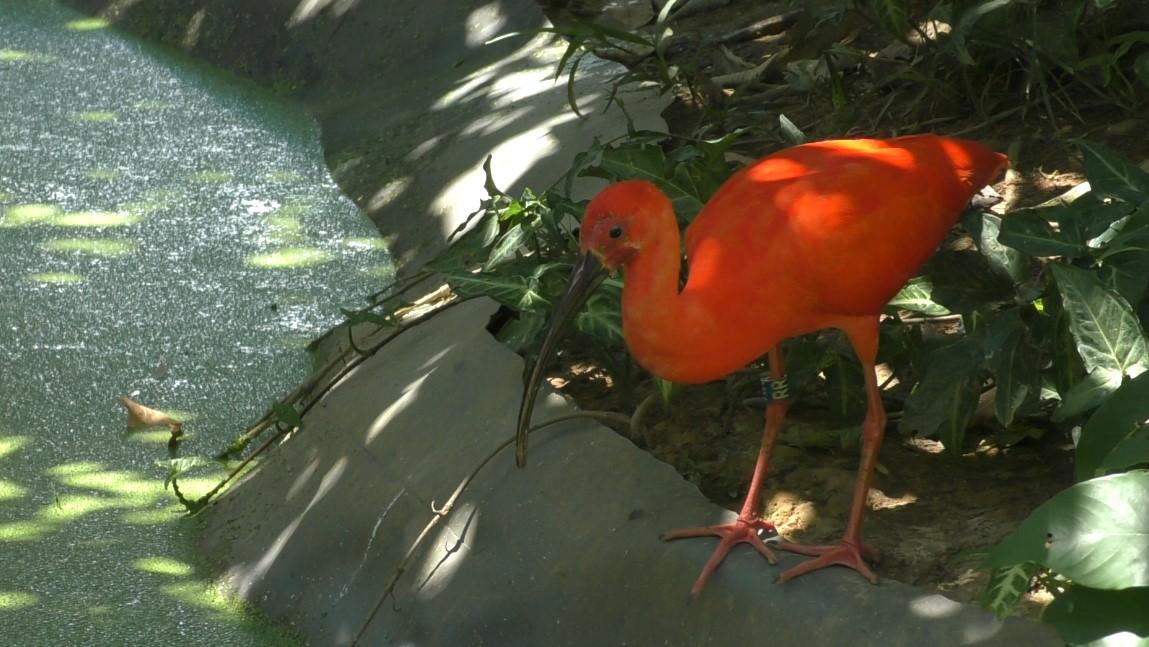 zoo-ibis-3