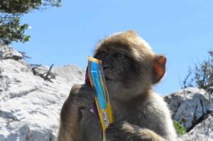 gibraltar gentil macaque