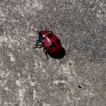 coléoptaire rouge et noir