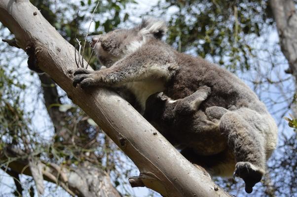 Blanket bay Koala et son bébé