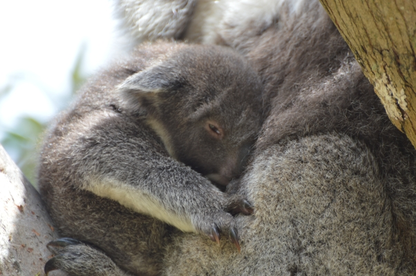 Blanket bay - bébé koala