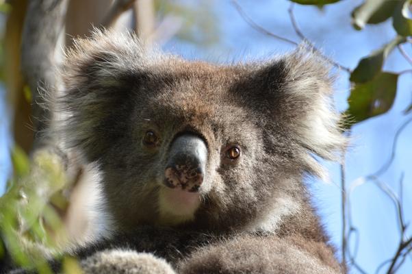 Blanket bay - tete koala