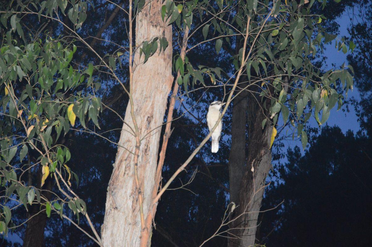 Dandos camp Kookaburra dans larbre