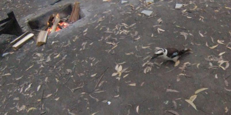 Dandos invité kookaburra