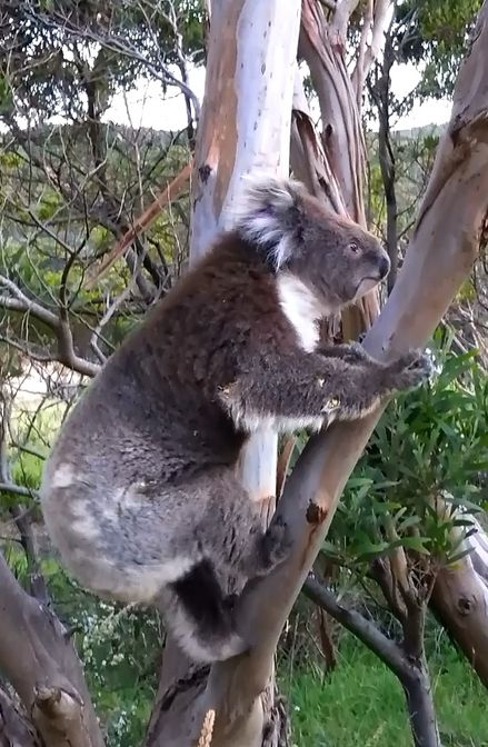 Great Otway National Park aire river camp koala bis