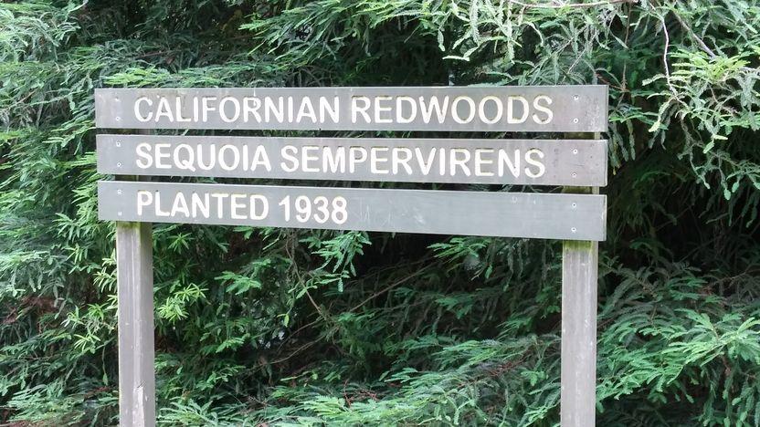 californian redwoods panneau
